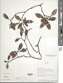 view Retiniphyllum laxiflorum (Benth.) N.E. Br. digital asset number 1