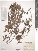 view Ficus agapetoides Diels digital asset number 1