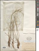 view Stipa dasyphylla (Lindem.) Czern. ex Trautv. digital asset number 1