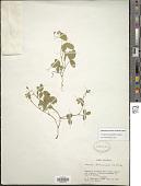 view Cologania angustifolia Kunth digital asset number 1