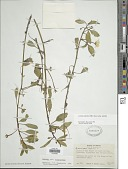 view Ludwigia peploides (Kunth) P.H. Raven subsp. peploides digital asset number 1