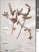 view Lepidoceras chilense (Molina) Kuijt digital asset number 1