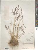 view Puccinellia pamirica (Roshev.) V.I. Krecz. ex Ovcz. & Czukav. digital asset number 1