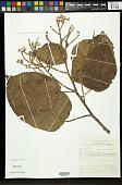 view Hibiscus pulvinulifer Borss. Waalk. digital asset number 1