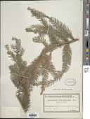 view Araucaria cunninghamii Aiton ex D. Don digital asset number 1
