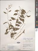 view Agonandra racemosa (DC.) Standl. digital asset number 1