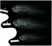 view Labracinus cyclophthalmus digital asset number 1