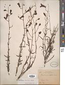 view Penstemon tenuifolius Benth. digital asset number 1