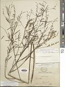 view Pediomelum linearifolium (Torr. & A. Gray) J.W. Grimes digital asset number 1
