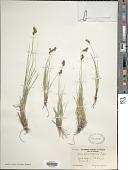 view Carex phaeocephala Piper digital asset number 1
