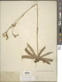 view Eryngium elegans Cham. ex Schltdl. digital asset number 1