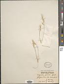 view Eragrostis falcata (Gaudich.) Gaudich. ex Steud. digital asset number 1