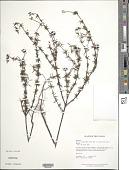 view Borreria capitata var. suaveolens (G. Mey.) Steyerm. digital asset number 1