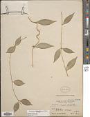 view Dischidia rosea Schltr. digital asset number 1
