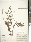 view Orthaea minor (A.C. Sm.) Luteyn digital asset number 1
