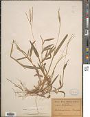 view Axonopus compressus (Sw.) P. Beauv. digital asset number 1