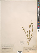 view Setaria viridis (L.) P. Beauv. digital asset number 1