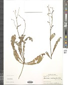 view Launaea nudicaulis (L.) Hook. f. digital asset number 1