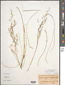 view Deschampsia nubigena Hillebr. digital asset number 1