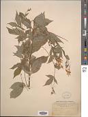 view Porteranthus trifoliatus (L.) Britton digital asset number 1