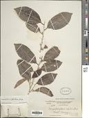 view Chrysophyllum argenteum subsp. argenteum digital asset number 1