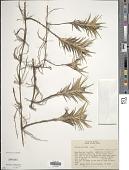 view Cyperus pedunculatus (R. Br.) J. Kern digital asset number 1