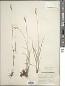 view Carex xerantica L.H. Bailey digital asset number 1