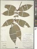 view Rinorea endotricha Sandwith digital asset number 1