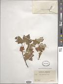 view Ribes glandulosum Ruiz & Pav. digital asset number 1