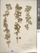 view Grossularia divaricata (Douglas) Coville & Britton digital asset number 1
