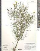 view Coreopsis verticillata L. digital asset number 1