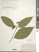 view Psychotria acuminata Benth. digital asset number 1