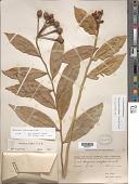 view Marcgravia rectiflora Triana & Planch. digital asset number 1