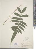 view Pneumatopteris truncata (Poir.) Holttum digital asset number 1