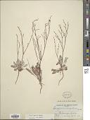 view Eriogonum gracile Benth. digital asset number 1