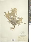 view Anaphalis subalpina (A. Gray) Rydb. digital asset number 1
