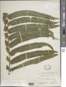 view Christella cyatheoides (Kaulf.) Holttum digital asset number 1