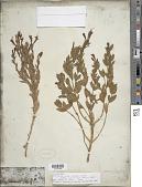 view Epilobium canum subsp. latifolium (Hook.) P.H. Raven digital asset number 1