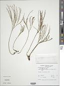 view Psilotum nudum (L.) P. Beauv. digital asset number 1