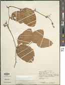 view Smilax maypurensis Humb. & Bonpl. ex Willd. digital asset number 1