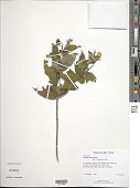 view Wedelia calycina Rich. digital asset number 1