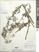view Erechtites valerianifolius (Link ex Spreng.) DC. digital asset number 1