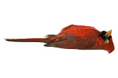 view Northern Cardinal digital asset number 1