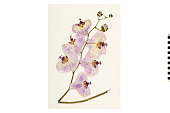 view Moth Orchid digital asset number 1
