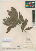 view Neolitsea phanerophlebia Merr. digital asset number 1