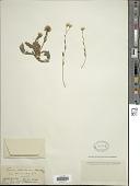 view Holocheilus illustris (Vell.) Cabrera digital asset number 1