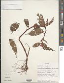 view Begonia longirostris Benth. digital asset number 1