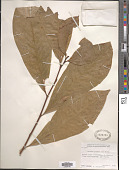 view Asimina triloba (L.) Dunal digital asset number 1