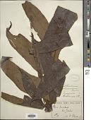 view Tectaria decurrens (Presel.) Copel. in Elmer digital asset number 1