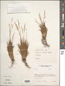view Agrostis pittieri Hack. digital asset number 1
